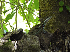 Plumed Basilisk, Costa Rica [Explored] (jonhuskisson) Tags: lizard reptile animal nature wild wildlife costarica centralamerica travel basilisk plumedbasilisk explored jesuslizard jesuschristlizard