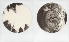 The sentinels (Joann Edmonds) Tags: roidweek polaroidweek polaroid slr680 impossible impossibleproject bw600 monochrome blackandwhite roundframe instantfilm nature diptych tree trees wood driftwood