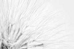 Vole au vent ...fleur de pissenlit... (Cécissounette) Tags: macro nature fleur noir et blanc