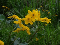Kingsize kingcups (Phil Gayton) Tags: kingcup marsh marigold calthapalustris wild flower wildflower plant river dart totnes devon uk