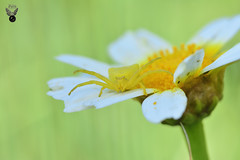ARAÑA CANGREJO 01 (JuanMa-Zafra) Tags: araña cangrejo thomisus macro d7100 105mm nikon flash reflector difusor zafra extremadura margarita flores campo primavera
