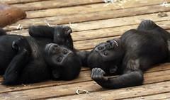 western lowlandgorilla burgerszoo JN6A2020 (joankok) Tags: gorilla westelijkelaaglandgorilla westernlowlandgorilla lowlandgorilla laaglandgorilla burgerszoo mensaap mammal primaat primate ape aap monkey zoogdier africa afrika