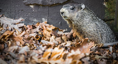 How much wood.... (si_glogiewicz) Tags: groundhog whistelpig woodchuck rodent leaves nature mammal sciuridae marmots marmot squirrel newyorkstate northamerica