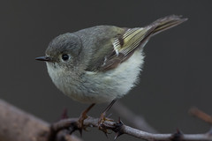 Ruby-crowned Kinglet (female) (Jeremy Meyer) Tags: rubycrownedkinglet rubycrowned kinglet bird lakepark