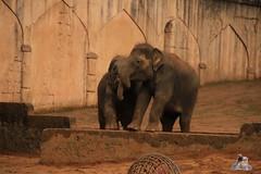Erlebniszoo Hannver 15.04.2017 006 (Fruehlingsstern) Tags: eisbären polarbear sprinter melana elefanten seelöwen weiskopfseeadler yukonbay erlebniszoohannover hannover canoneos750 tamron16300 zoo