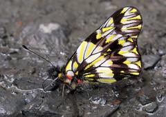 Catasticta modesta (hippobosca) Tags: butterflylepidoptera peru pieridae catastictamodesta