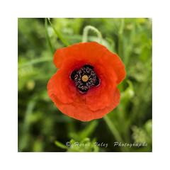 Coquelicot_DSC3526 (hervv30140) Tags: fleur rouge printemps prairie champ pavot corolle espèce plante pétales