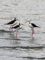 Black-winged Stilt (Himantopus himantopus) (Arturo Nahum) Tags: australia aves animal arturonahum ave airelibre birdwatcher bird birds wilflife wild nature naturaleza naturephotography pajaro pajaros