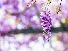紫藤 (紅襪熊) Tags: olympus omd em1 m43 micro43 microfourthirds olympusem1 sigma 150mm macro bokeh sigma150mmmacro apo f28 sigmaapomacro150mmf28 sigmamacro150mmf28 150mmf28 sigma150mmf28 wistaria spring 春 花 藤 藤花 紫藤 春天 夢幻 紫 purple flower