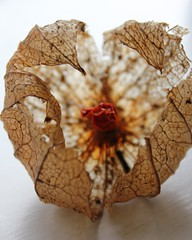 Last Years Chinese Lantern (Annica Spjuth) Tags: macromondays seed chineselantern