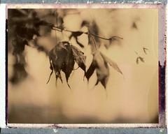 (er_code_blue) Tags: polaroid instant analog packfilm film chocolate expired polaroidweek 195 2017