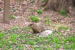 ground hog 4-19-17 2 (sw_bobster) Tags: groundhog woodchuck mammal wild