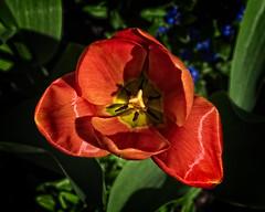 Tulip Heart (MrBlueSky*) Tags: tulip flower petal plant garden outdoor nature horticulture colour kewgardens royalbotanicgardens aficionados pentax pentaxart pentaxlife pentaxk1 pentaxawards pentaxflickraward london doublefantasy