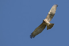 Short toed Eagle (ToriAndrewsPhotography) Tags: short toed eagle bird prey flight extremadura spain tori andrews photography