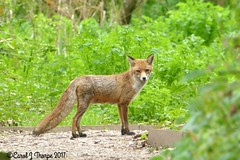 Red Fox-Vixen (CJT29) Tags: redfox vixen hillhead hampshire cjt29 outdoors coast mammal carnivore