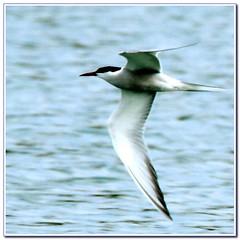 Sterne perregarin_Sterna hirundo (nicéphor) Tags: sterne oiseau bird tamron150600 eos7d canon wildlife nature