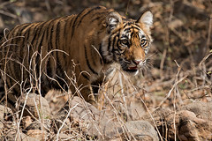 TIG170211GBw (giles.breton) Tags: pantheratigristigris royalbengaltiger tiger india ranthambhorenationalpark andyrouse dickysingh noor