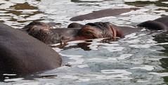 Hippopotamus (Hippopotamus amphibius); Albuquerque, NM, BioPark Zoo [Lou Feltz] (deserttoad) Tags: park zoo behavior africa animal mammal hippopotamus water newmexico