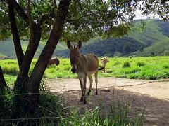 Jumentos (Mrcio Vincius Pinheiro) Tags: brazil ass nature brasil rural rj natureza donkey burro pasto pasture asno jumento jerico terespolis jegue equusafricanusasinus asnodomstico