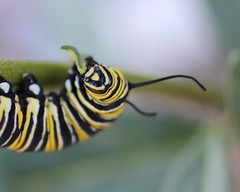 Monarch caterpillar, a very good eater! (Victoria Morrow) Tags: hope ray daily droh dailyrayofhope2015