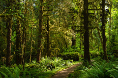 Hoh River Trail (absencesix) Tags: travel trees plants green nature colors june washington moss ancient rainforest solitude unitedstates path iso400 olympicpeninsula noflash northamerica sunburst portfolio ferns forks solitary haley sunbeam lightandshadow pinetrees locations locale hohrainforest godrays 38mm temperaterainforest 2470mmf28 naturalevents 2013 sprucetrees 500px geo:country=unitedstates geo:state=washington apertureprioritymode objectsthings hasmetastyletag adjectivesfeelingdescription selfrating3stars camera:make=nikoncorporation 160secatf56 exif:make=nikoncorporation exif:lens=240700mmf28 exif:aperture=ƒ56 subjectdistanceunknown geo:city=forks nikond800e exif:model=nikond800e camera:model=nikond800e 2013travel june152013 olympicpeninsula0614201306162013 olympicpeninsula0614201306162013withjenny andnorine forkswashingtonunitedstates exif:isospeed=400 exif:focallength=38mm geo:location=olympicnationalpark geo:lat=47868645 geo:lon=123882765 47°527n123°5258w