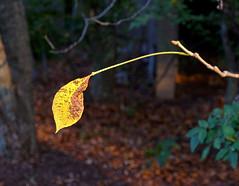 Bitterness (Brendan J Ross) Tags: plants leaves evening virginia woods reston