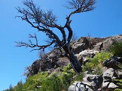 Feuerbaum (omma59) Tags: tree olympus madeira baum ep3 picoruivo
