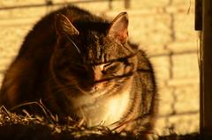 pumpkin (Sheeps and Peeps Farm) Tags: earlymorning barncat latesummer inthebarn