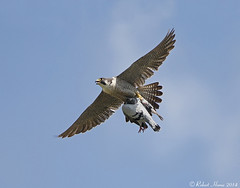 Peregrine sequence 1 /4 (Robert Horne Wildlife Photography) Tags: adult westsussex pigeon hunting raptor falcon prey birdofprey chichester peregrine peregrinefalcon falcoperegrinus preyitem chichesterperegrines