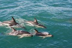 Dusky Dolphin Pod, Kaikoura (AlexDenvorB) Tags: new wild water dolphin wildlife watch zealand whale kaikoura dusky