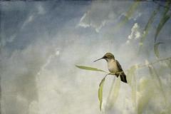 Hummingbird with Textured Clouds (jeanne.marie.) Tags: summer sky texture birds clouds hummingbird rubythroatedhummingbirdarchilochuscolubris