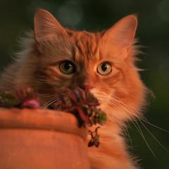 Maine Cat (David McCudden) Tags: littledoglaughedportraits