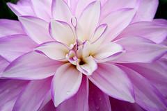 Dahlias (tad2106 - Trudie Davidson Photography) Tags: dahlia flowers autumn flower garden petals single bloom dahlias
