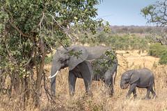 An Elephant and Baby in Chobe National Park, Botswana (GrahamJY) Tags: elephants botswana chobenationalpark
