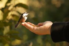 Black-capped Chickadee (Tjflex2) Tags: nature bc blackcappedchickadee ladner birdsanctuary georgecreifelmigratorybirdsanctuary