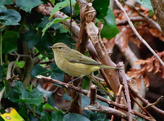 Willow Warbler (James Lennie) Tags: