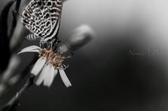 Leptotes pirithous (Naiade Photography) Tags: summer butterfly island europa italia estate toscana farfalla isola 2014 capraia d90 licenide