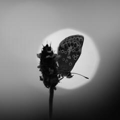 mono argus (neals pics) Tags: brown monochrome canon butterfly mono argus canonef100mmf28macro 100xthe2014edition 100x2014 image64100