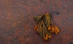 Wrack seaweed on Red Sandstone (foggybummer (Keith)) Tags: sea seaweed rocky september tidal redsandstone channelledwrack eastmathers uppershore