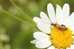 Oedemera podegrariae  (Makromaus_Ahrweiler) Tags: macro nature makro kfer coleoptera oedemeridae naturaufnahme scheinbockkfer falseblisterbeetles oedemerapodegrariae echterschenkelkfer