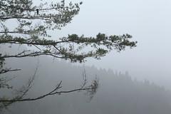 Heavy Fog (S Tu) Tags: tree fog forest day  nantou  sunlinksearecreationpark