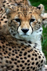 Sudan cheetah (James L Taylor) Tags: zoo chester 19914