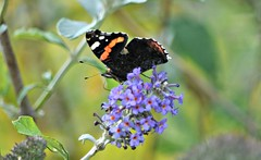 Red Admiral (Vanessa atalanta) (Stacey Melia) Tags: flowers summer butterfly wildlife insects redadmiral lepidoptera invertebrate