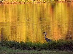 Blue Heron at sunset (lilruby) Tags: sunset water fallcolors wildlife ozarks greatblueheron waterreflection lakereflection southwestmissouri laketaneycomo lilruby