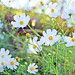 White Cosmos (Mexican Aster) / 白いコスモス