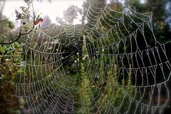 Teranyina 2 (Xevi V) Tags: cobweb dew rosada teranyina moisturecondensed