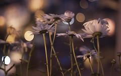 Perdí cientos de horas (Kris *) Tags: flowers light españa flores cold flower luz night canon 50mm noche spain bokeh flor asturias september septiembre frío margaritas norte 2014 noth 50d seleccionar xkrysx