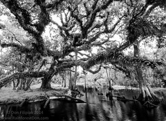 Black Water Beauty (Don Filipiak) Tags: blackandwhite landscape oak florida wideangle liveoak cypress fisheatingcreek quercusvirginiana nikonwideangle nikond7000 nikon1024mm rainforestdon
