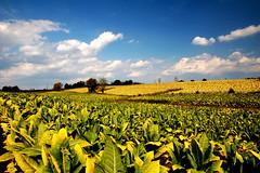 Kentucky Tobacco Field (James Nester Jr) Tags: field tobacco