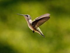 Bye bye hummingbirds... (shannon4462) Tags: desktop light bird wings bokeh express rubythroatedhummingbird pixlr